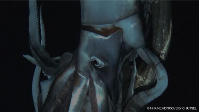 NHKスペシャル「世界初撮影! 深海の超巨大イカ」(NHK総合)