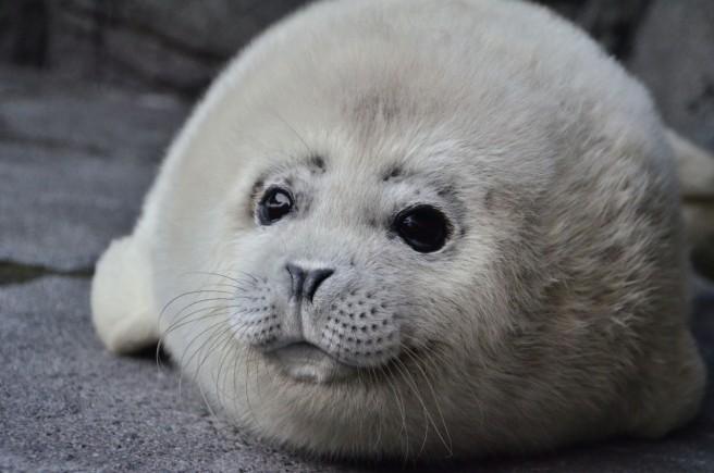 ゴマフアザラシの赤ちゃん(鶴岡市立加茂水族館)