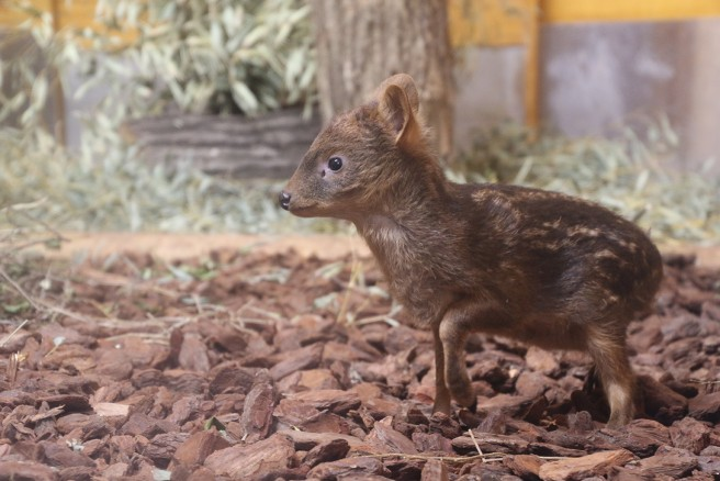 日本で初誕生! 世界最小のシカ プーズーの赤ちゃん (C)埼玉県こども動物自然公園
