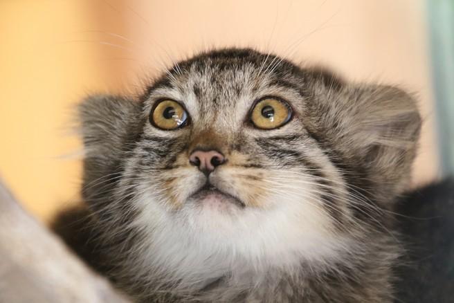 ブサカワ界の新星・マヌルネコの赤ちゃん  (C)埼玉県こども動物自然公園