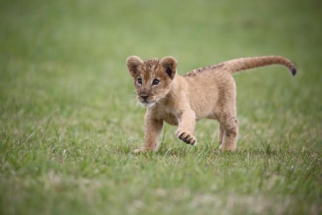 元気いっぱいのライオンの赤ちゃん  (C)富士サファリパーク
